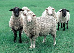 Sheep in Iowa.